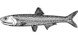 Auch Fisch ist eine Quelle für Vitamin B12