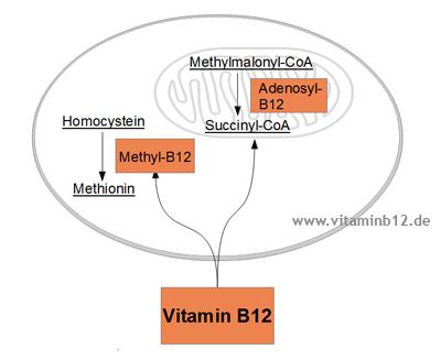 Vitamin B12 Wirkung Zelle