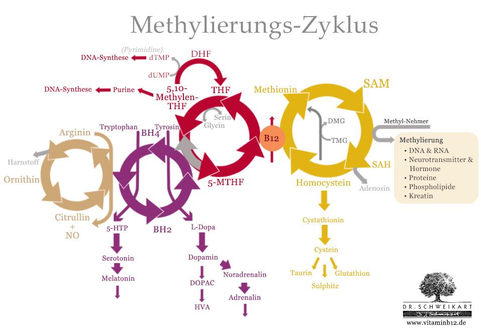 Biopterin-Zyklus