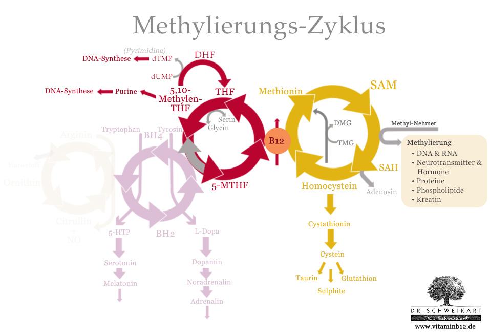 Folat-Zyklus