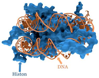 Histon-Nucleosom