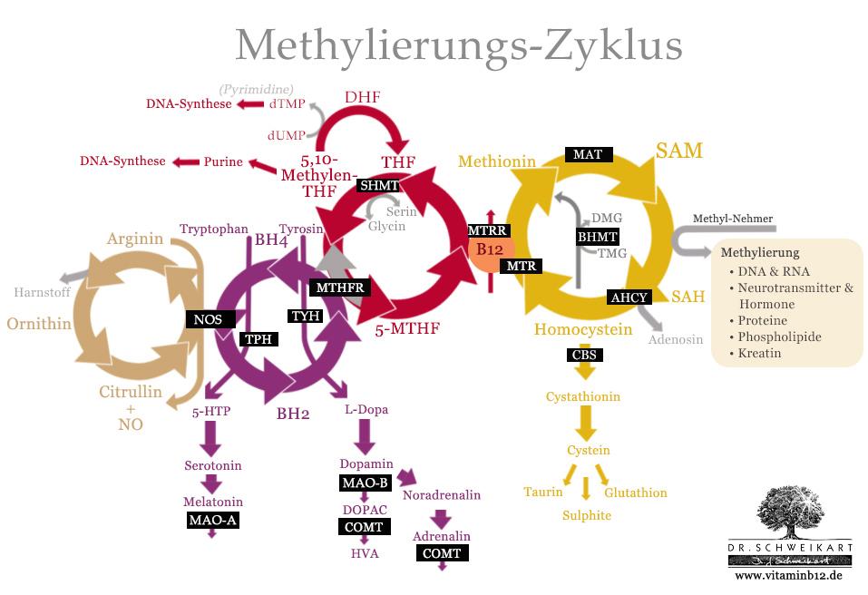 Methylierungs Zyklus Gene