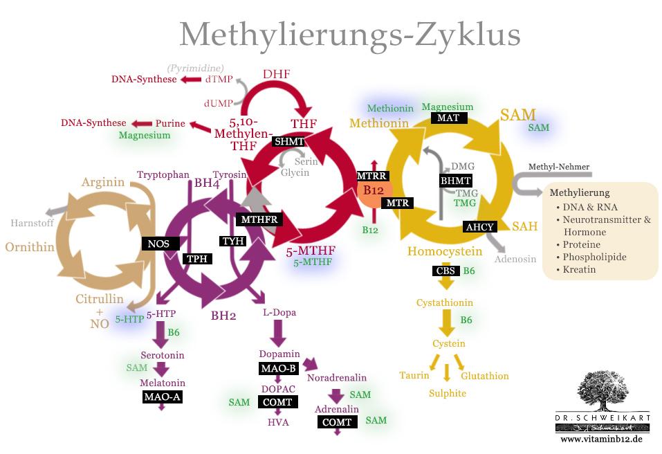 Wichtige Nährstoff-Ergänzungen für die Optimierung (grün) des Methylierungs.Zyklus und bei Gen-Mutationen (blau)