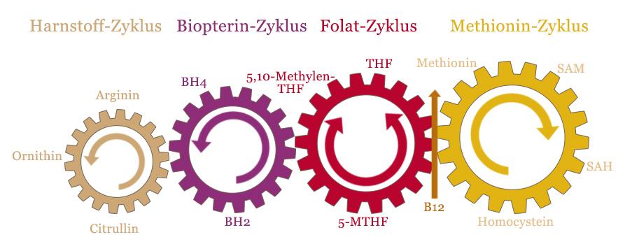 b12 methylierung schema
