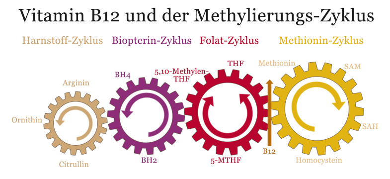 Vitamin B12 und Methylierung